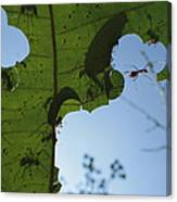 Leafcutter Ant Atta Columbica Workers Canvas Print