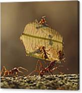 Leafcutter Ant Atta Sp Group Carrying Canvas Print