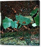 Leafcutter Ants Canvas Print