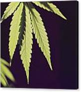 Leaves Of A Marijuana Plant Cannabis Canvas Print
