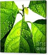 Leaves With Raindrops Canvas Print
