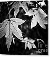 Leaves Without Color Canvas Print