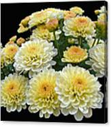 Lemon Meringue Chrysanthemums Canvas Print