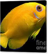 Lemonpeel Angelfish Canvas Print