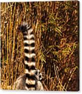 Lemur Tail Canvas Print