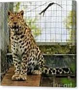 Leopard 4 Canvas Print