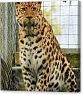 Leopard 6 Canvas Print