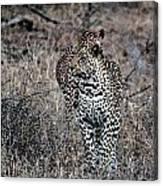 Leopard Hunt Canvas Print
