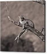 Leopard Panthera Pardus In A Tree Canvas Print