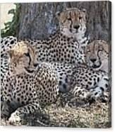 Leopards, Kenya, Africa Canvas Print