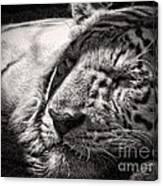 Let Sleeping Tiger Lie Canvas Print