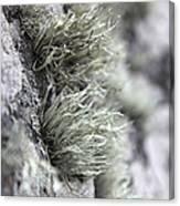 Lichen Niebla Podetiaforma Canvas Print