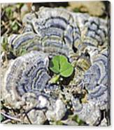 Lichen The Shamrock Canvas Print