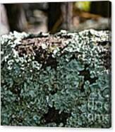 Lichens Lace Canvas Print