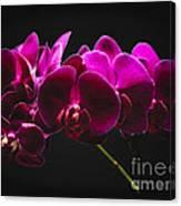 Light Painted Orchids Canvas Print