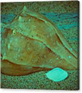 Lightning Whelk Canvas Print