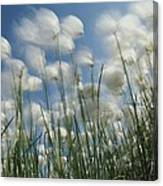 Like Spots Of White Clouds, The Aging Canvas Print