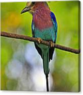 Lilac-breasted Roller Canvas Print