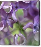 Lilac Syringa Sp Flower, Close Canvas Print
