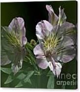 Lily - Liliaceae 3 Canvas Print