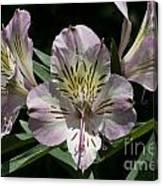 Lily - Liliaceae Canvas Print