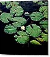 Lily Alone Canvas Print