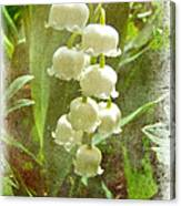 Lily Of The Valley - In White #2 Canvas Print