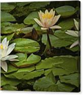 Lily Pads And Blossoms. No186 Canvas Print