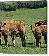 Limousin Calves Canvas Print