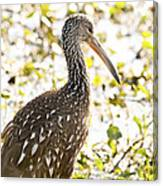 Limpkin Luster Canvas Print