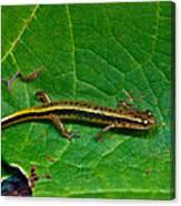 Lined Salamander 2 Canvas Print