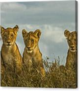 Lion Cubs Serengeti National Park Canvas Print