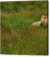 Lion In The Grass Canvas Print