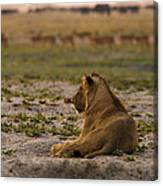 Lion Lazy Canvas Print