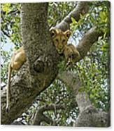 Lion Lookout Canvas Print