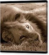 Lion Of Afrrica Canvas Print