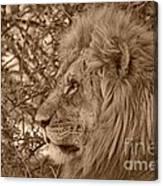 Lion Of Chobe Canvas Print
