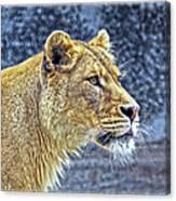Lion Stare Canvas Print