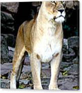 Lioness At Attention Canvas Print