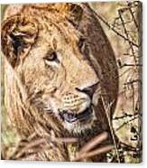 Lioness Hiding Canvas Print