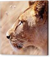 Lioness Staring Intently At Passing Canvas Print