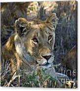 Lioness With Pride In Shade Canvas Print