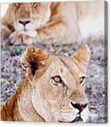 Lionesses Lying In Shade In Maasai Mara Canvas Print