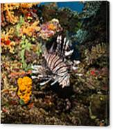 Lionfish, Fiji Canvas Print