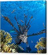 Lionfish Foraging Amongst Corals Canvas Print