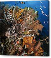 Lionfish, Indonesia Canvas Print