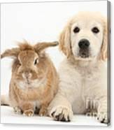 Lionhead-cross Rabbit And Golden Canvas Print