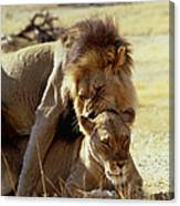 Lions Mating Canvas Print