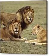 Lions Tanzania Canvas Print