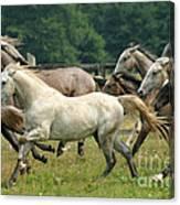 Lipizzan Horses Canvas Print